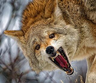 peeva pet tip- how to fend off a-coyote-.jpg